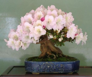 stvol_bonsai